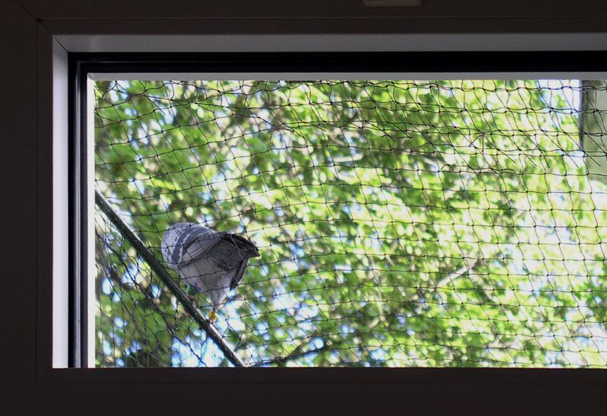 Eine Taube sitzt provozierend oben kätts Chefkatze Felinas Balkonnetz