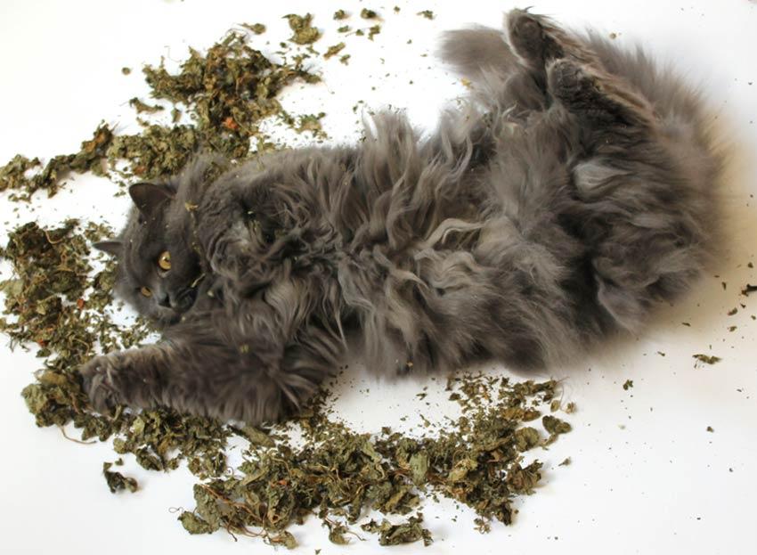 kätts Chefkatze Felina demonstriert die Katzenminzereaktion in einem Bett aus Matatabi-Blättern