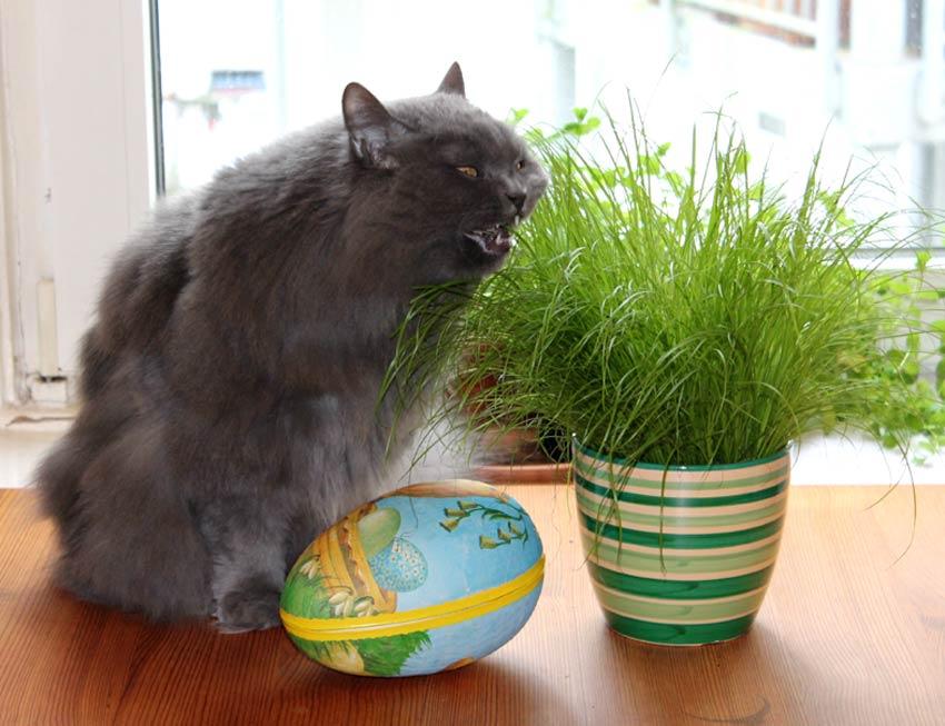 kätts Chefkatze Felina beim herzhaften Biss in ihr österliches Katzengras