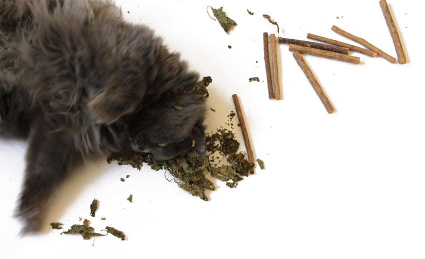 kätts Chefkatze Felina mit Matatabi-Blättern und Matatabi-Sticks (engl. Silver Vine)